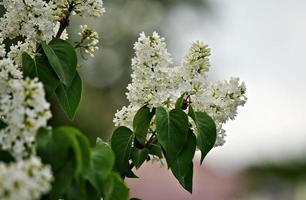 temps de printemps. lilas blanc en fleurs. mise au point sélective. photo