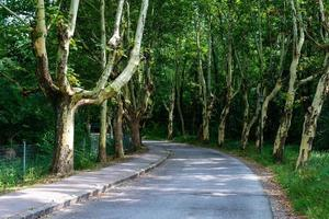 allée d'arbres malades sans pelure. la route asphaltée à travers la ruelle. photo