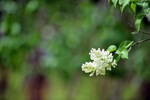 fleurs blanches dans le jardin photo