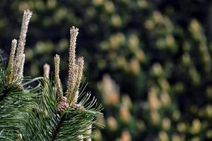 pin avec de jeunes cônes photo