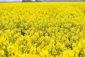 belles fleurs jaunes, champ de colza en fleurs photo