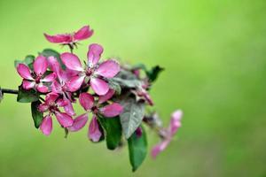 belles fleurs roses en fleurs photo