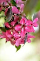 belles fleurs de pommier en fleurs photo