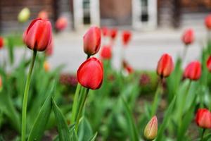 tulipes qui fleurissent dans un jardin photo