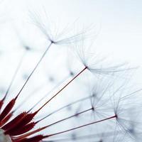 fleur de pissenlit romantique au printemps, graine de pissenlit macro photo