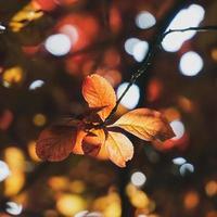 feuilles d'arbre rouge dans la nature en saison d'automne, fond rouge photo