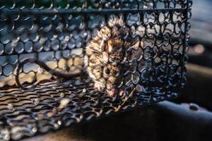 un rat piégé dans une cage qui est une souricière. photo