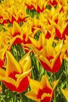 De nombreuses jonquilles tulipes colorées dans le parc de Keukenhof lisse Hollande Pays-Bas. photo