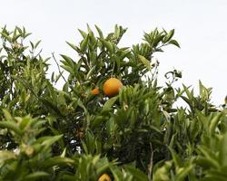 le bel oranger aux fruits mûrs photo