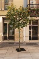 bel arbre aux fruits orange mûrs photo