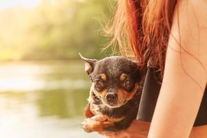 chien chihuahua dans les mains d'une fille sur le fond de la rivière. photo