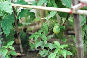 Aubergine gros plan suspendu à la branche dans le potager à l'arrière-cour photo
