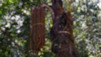 photos floues d'arbres et de fruits de palmier suspendus à l'arbre