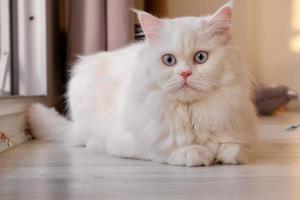 poupée persane visage chinchilla chat blanc. animal de compagnie mignon moelleux avec des yeux bleus photo