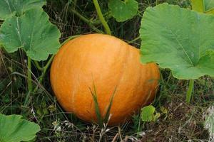 la citrouille végétale orange mûrit dans le jardin. photo