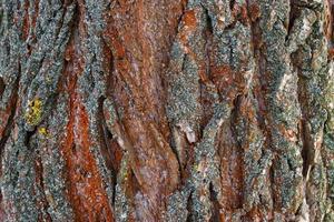 surface rugueuse de l'écorce des arbres. fond intéressant. photo