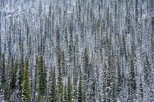 pins dans la forêt en hiver au parc national photo