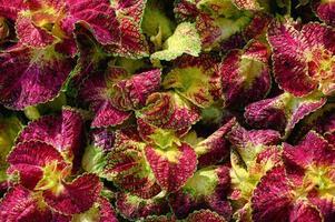 groen-bruine coleus ou siernetel plante ornementale de couleur violette et verte photo
