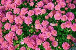 Asteraceae rose fleur qui fleurit dans le jardin photo