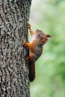 un écureuil roux est assis sur le tronc d'un arbre brun photo