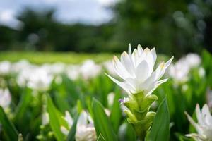 gros plan de la fleur de tulipe blanche siam photo