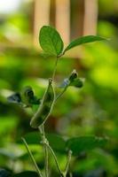 plants de soja vert frais sur le terrain photo