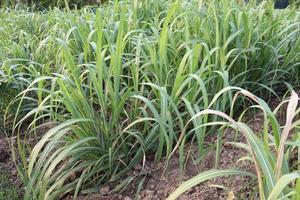 ferme de canne à sucre sur le terrain pour la récolte photo