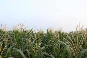 Entreprise d'arbre de maïs de couleur verte sur le terrain photo