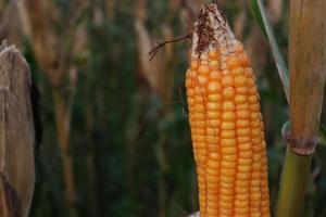 stock de maïs mûr avec arbre dans l'entreprise photo