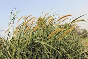 herbe de couleur verte ferme avec fleur photo