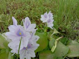 fleur de pana kochuri de couleur violette et blanche photo