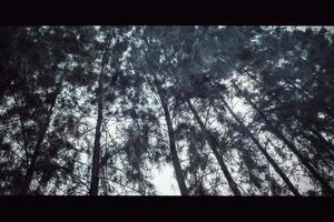 vue sur la nature du pin silhouette dans la forêt en été au coucher du soleil. beau fond naturel. photo