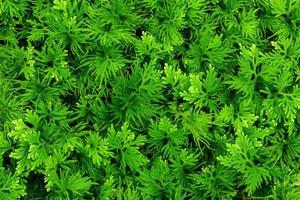 la nature laisse le vert de fond de fougère dans le jardin au printemps. feuillage tropical foncé fond abstrait naturel. photo