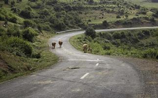 route de montagne avec des vaches en liberté photo