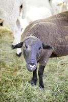 ferme ovine espagnole photo