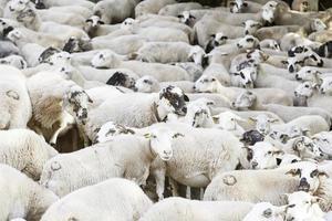 groupe de moutons dans la nature photo