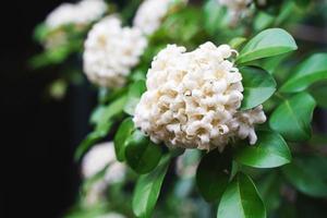 fleur de jasmin orange blanc avec des feuilles vertes qui fleurit sur un arbre dans le jardin. jasmin orange thaï, bois de satin d'andaman, écorce d'arbre cosmétique photo