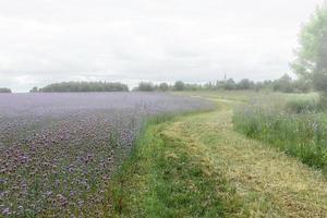 champ avec des fleurs violettes dans le brouillard photo