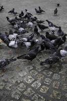 pigeons sur la place photo