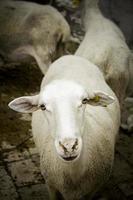détail de moutons blancs dans une ferme photo