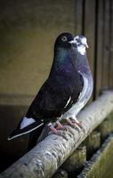 pigeons voyageurs oiseaux photo
