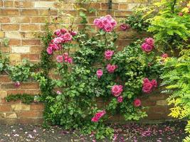 roses grimpantes roses dans un jardin clos photo
