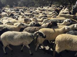 troupeau de moutons dans la province de bragança au portugal photo