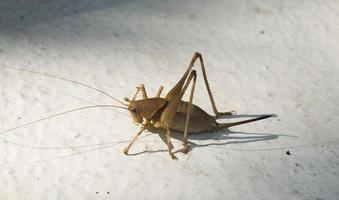 Détail de cricket d'insectes, Espagne photo