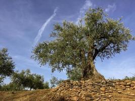 très vieux oliviers au portugal photo
