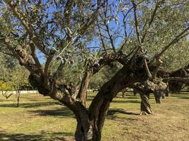oliviers dans le parc casa de campo à madrid, espagne photo