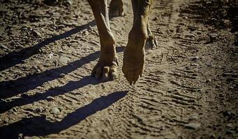 détail des pattes de chien qui marche photo