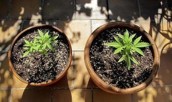 culture de cannabis sur une terrasse à madrid photo