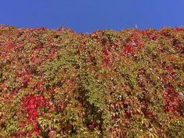 le lierre commence à rougir en automne photo