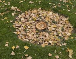 arbre nouvellement coupé avec ses feuilles mortes encore sur le sol, automne, madrid, espagne photo